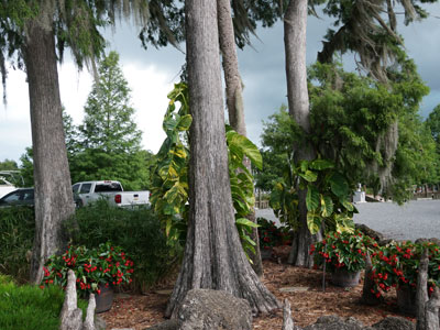 Some of the gorgeous trees that are throughout our resort.